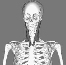 Skelton showing neck tendons