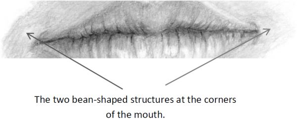 Mouth drawing showing bean shadings