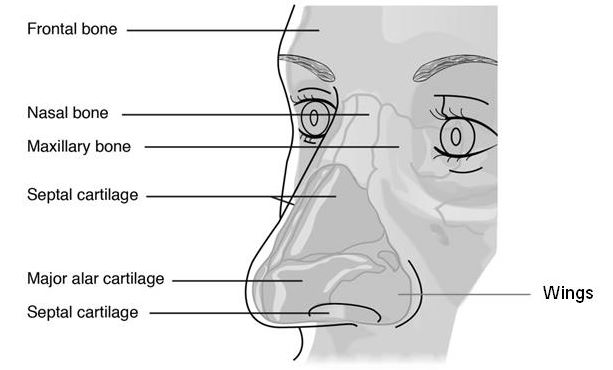 Anatomy of the nose