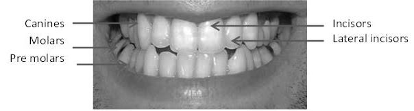Mouth with teeth types indicated