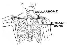 Skeleton showing collarbone